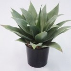 50CM AGAVE X 22 LEAVES