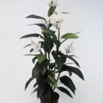 120CM CANNA LILY WHITE
