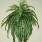 BOSTON FERN X 67 LEAVES
