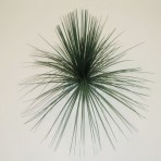 GRASS TREE (BLACKBOY) HEAD 30CM LONG