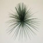 GRASS TREE (BLACKBOY) HEAD 30CM LONG