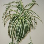 LARGE SPIDER PLANT