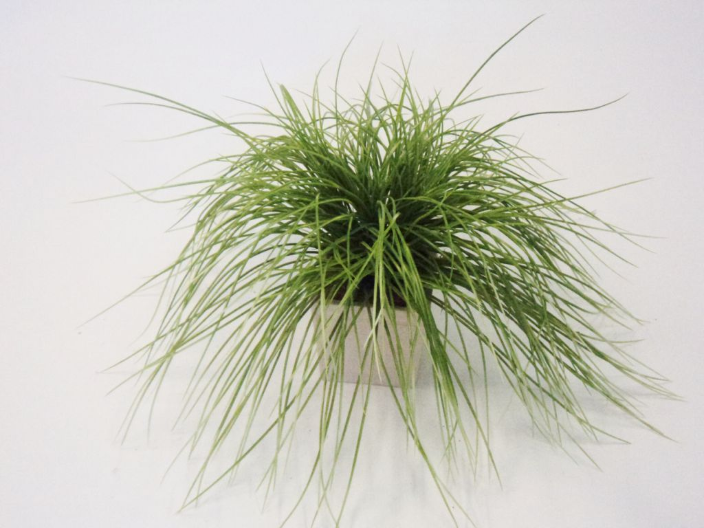 LONG MONDO GRASS GREEN/WHITE