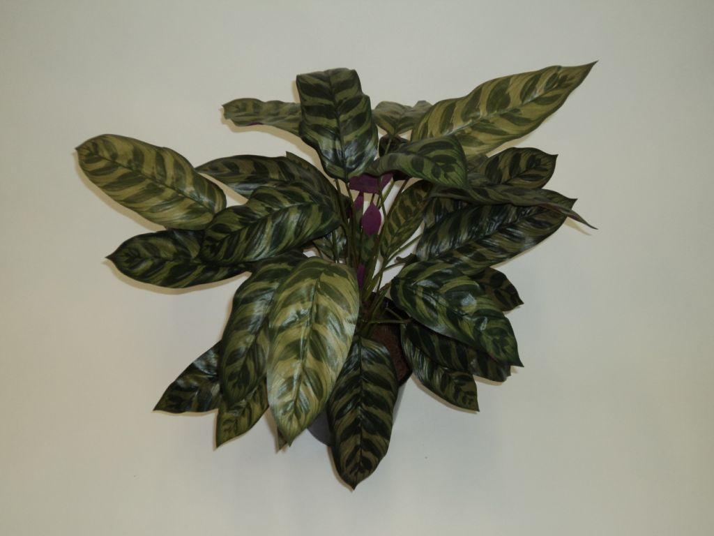 60CM PEACOCK PLANT X 38 LEAVES