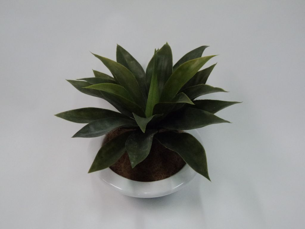 AGAVE X 20 LEAVES