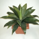 AGAVE X 23 LEAVES