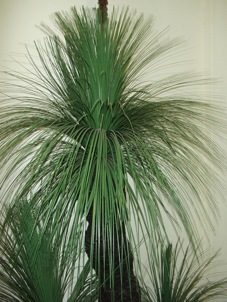 GRASS TREE (BLACKBOY) HEAD X 800 LEAVES