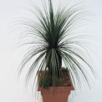 GRASS TREE (BLACKBOY) HEAD X 500 LEAVES