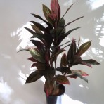 CORDYLINE 90CM HIGH