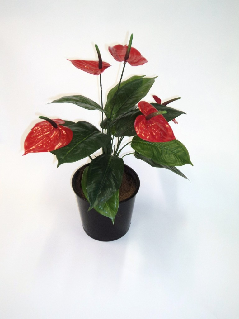 50CM HIGH ANTHURIUM WITH 5 FLOWERS