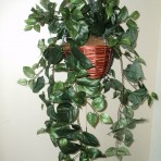 POTHOS HANGING BUSH