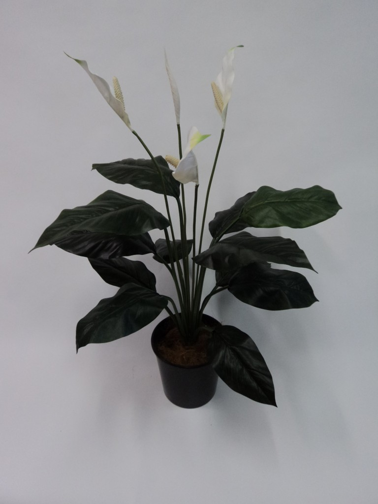 SPATHIPHYLLUM WITH 12 LARGE LEAVES 80CM HIGH