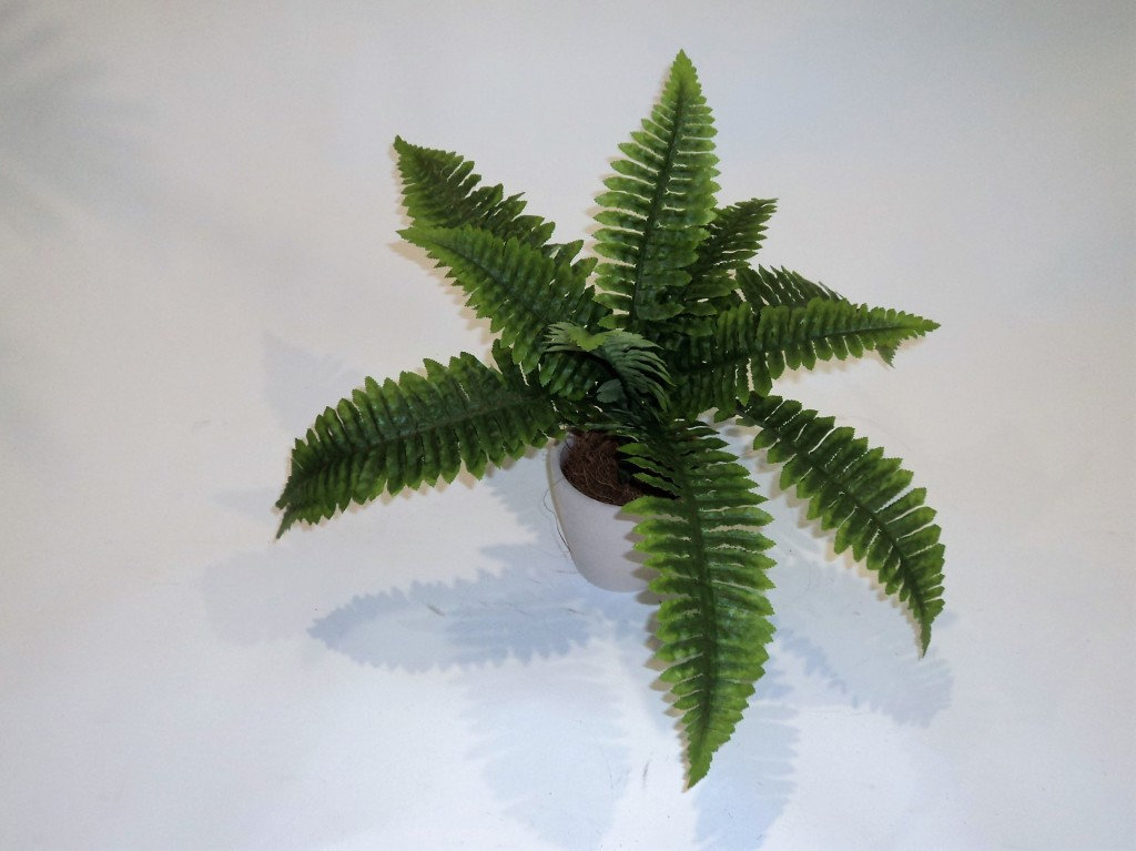 BOSTON FERN X 12 LEAVES