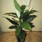 spathiphyllum-madonna lily 75cm