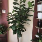 FIDDLE LEAF TREE 220CM TALL